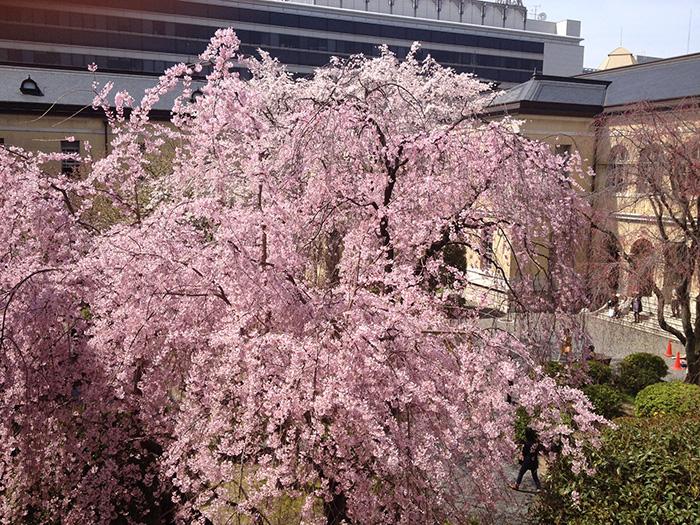 京都府庁 中庭の桜. sakura in kyoto