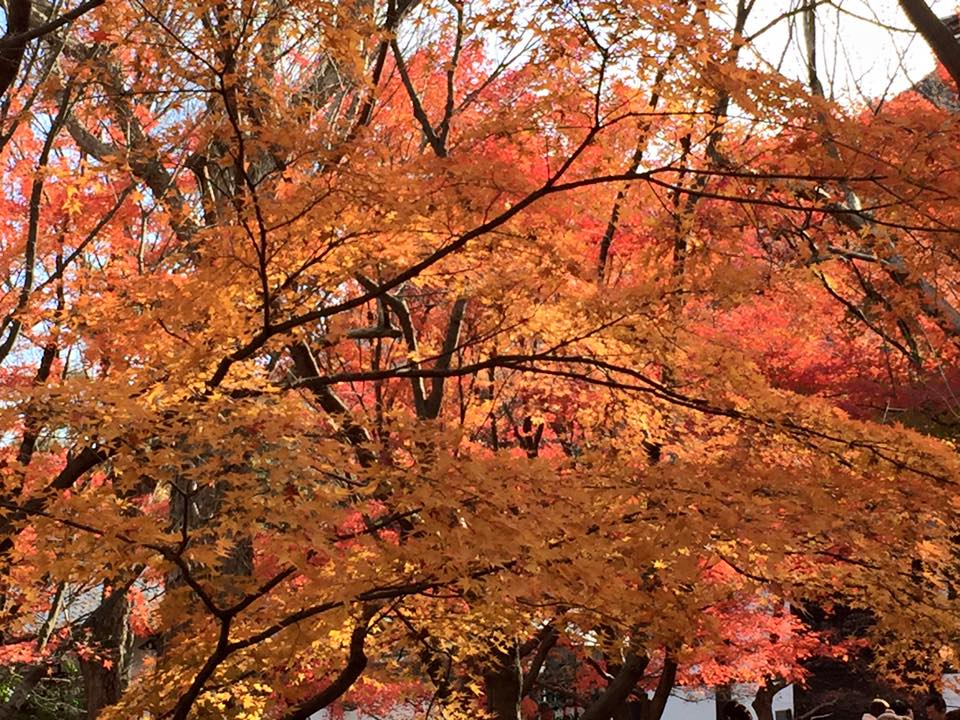 Autumn leaves. kyoto