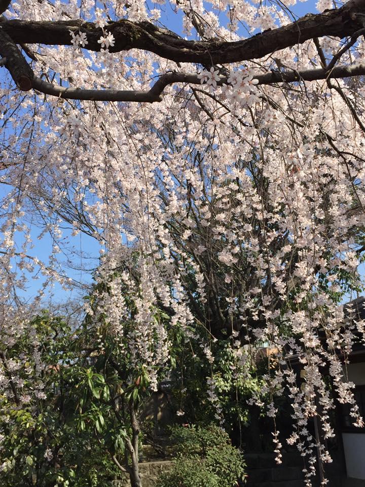 御所の近衛邸の 桜