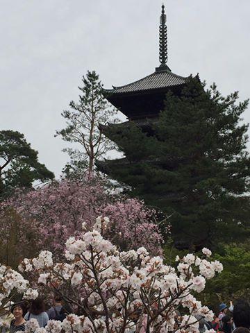 桜はまだまだ綺麗な京都です。仁和寺、龍安寺、大覚寺へ