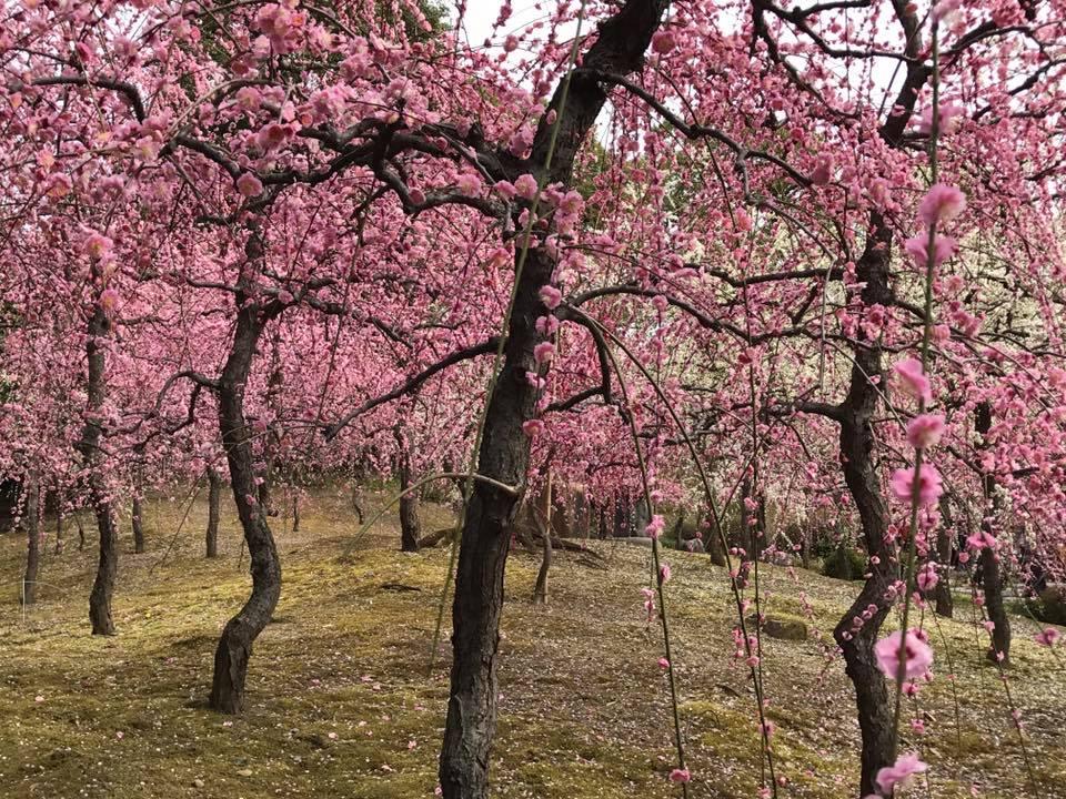 満開の梅の花 城南宮