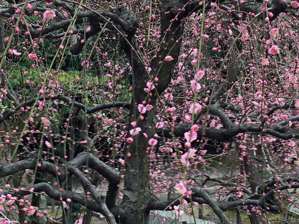 2月 Plum blossoms